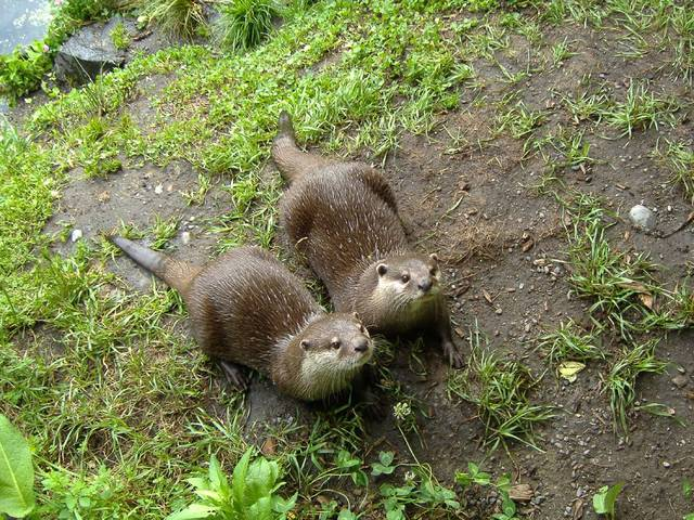 otters_at_willowbank