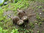 otters_at_willowbank.jpg