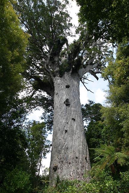 Kauri Tree Photo Picture Image Waipoua Forest