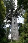 58_waipoua_kauri_tree.jpg