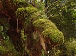 mossy_trees_at_fox.jpg