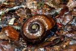 Powelliphanta Giant Land Snail